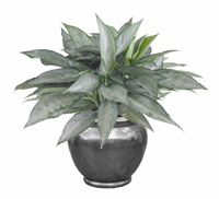 Chinese Evergreen Silverado