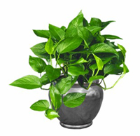 Jade Pothos Green Queen
