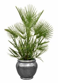 euro fan palm