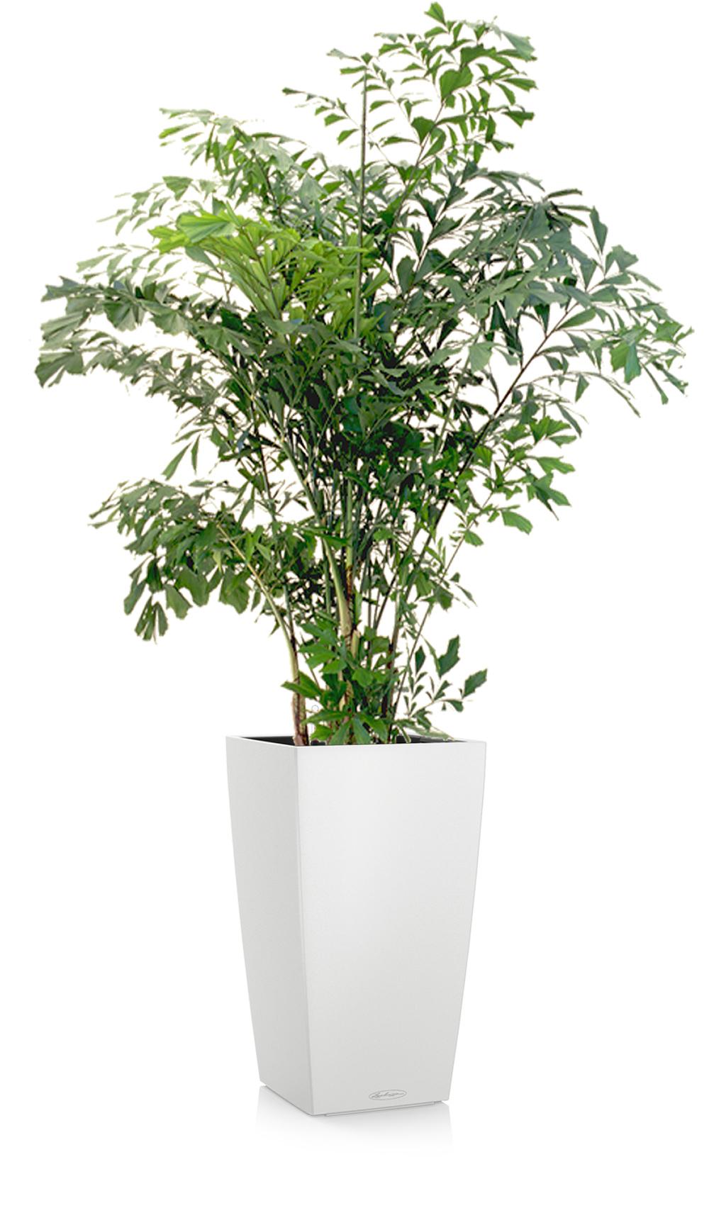 greenleaf_medhigh light_fishtail palm