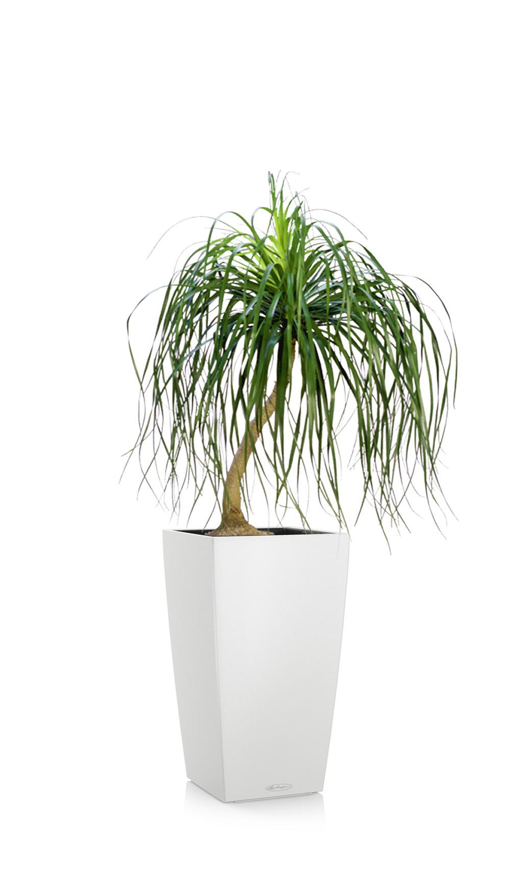 greenleaf_medhigh light_pony tail palm