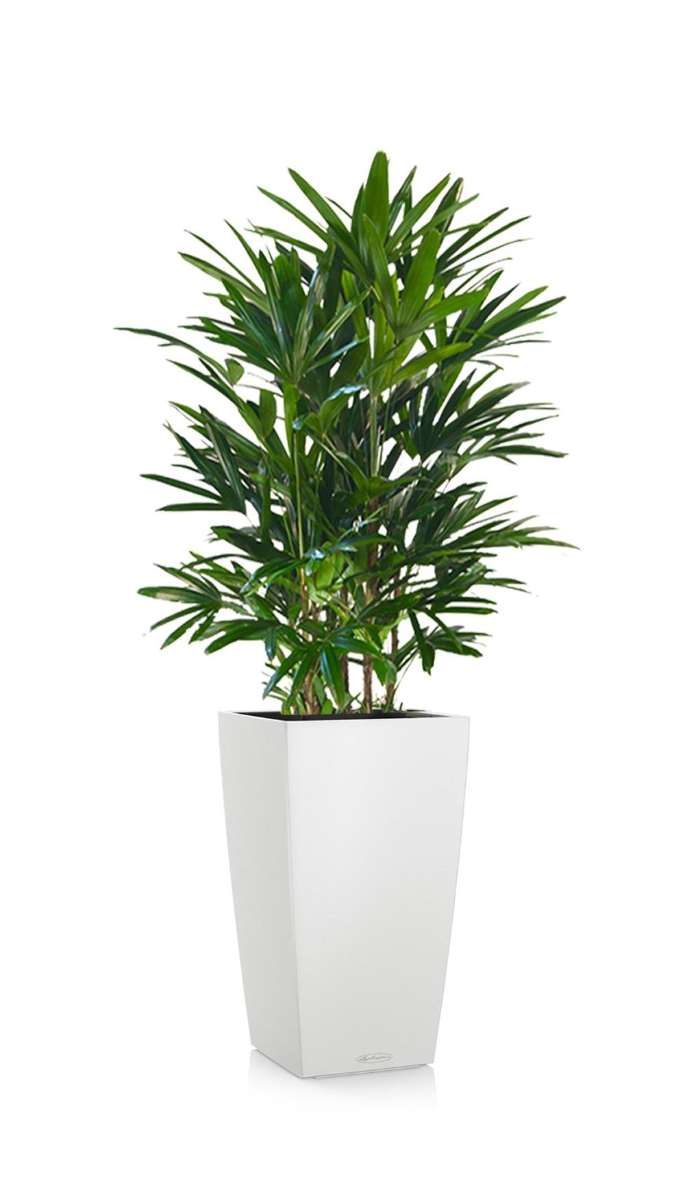 greenleaf_medhigh light_raphis palm